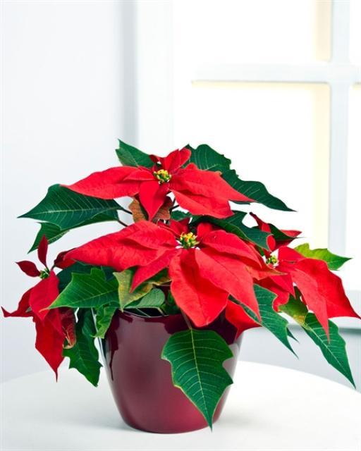 (Detsember-Jaanuar) Jõulutäht